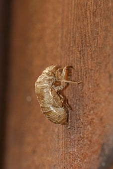 Cicada, Shell, Insect, Exoskeleton, Bug, Wildlife, Wing