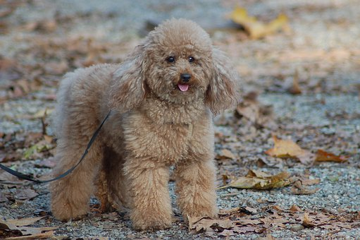 Poodle, Doggie, Dog, Adorable, Cute, Fluffy, Puppy