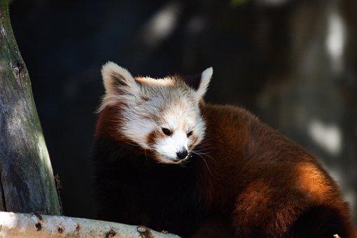 Panda, Mammal, Animal, Animal World, Cute, Bear Cat
