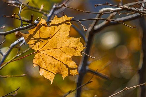 Maple, Leaf, Leaves, Autumn, Maple Leaf, Gold, Orange