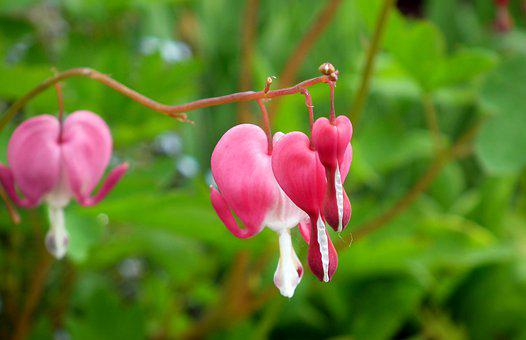 Hearts, Flowers, Nature, Closeup, Garden, Pink