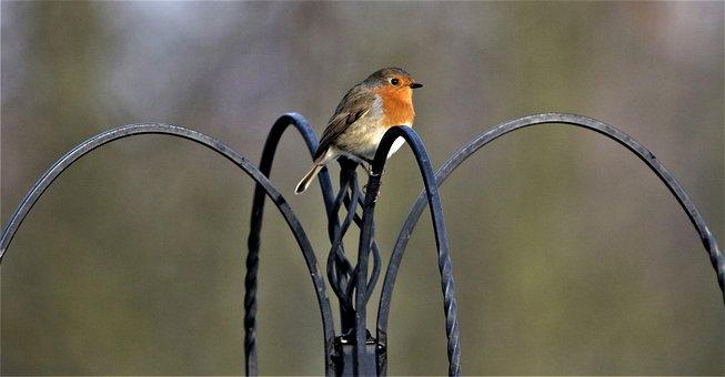 Robin, Robin Redbreast, Bird, Close Up, Songbird