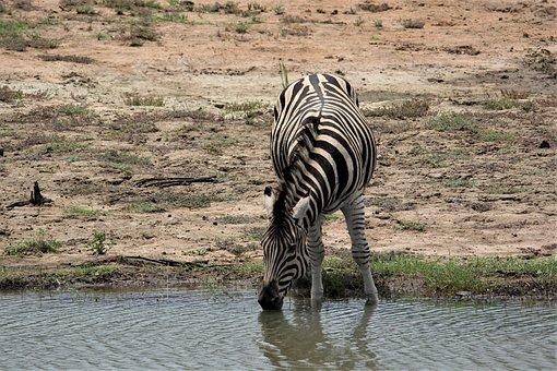 Zebra, Drinking, Water, Burchell, Game, Drive, Wild