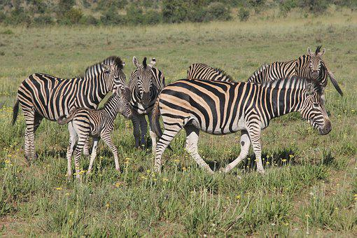 Zebra, Heard, Zeal, Dazzle, Young, Colt, Foal, Filly