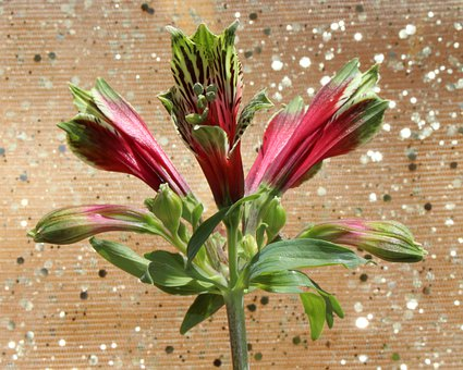 Peruvian Lily, Lily Of The Incas, Alstroemeria, Flowers