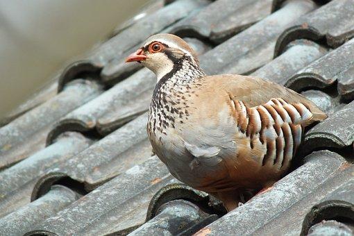 Partridge, Bird, Gallinacé, Game, Nature, Plumage