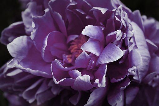 Purple, Dark, Peony, Paeonia, Petals, Macro, Closeup