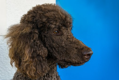 Dog, Animal, Kenny, King Poodle, Poodle, Head, Brown