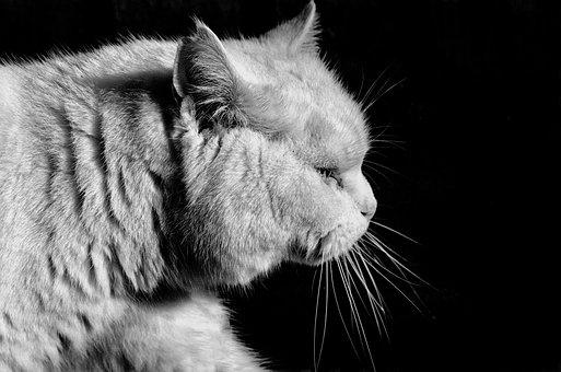 Cat, Black White, Black Background, Animal, Head