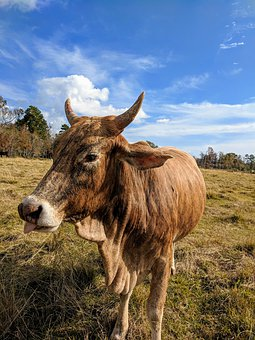 Cow, Horns, Tongue, Sticking Tongue Out, Blue Sky