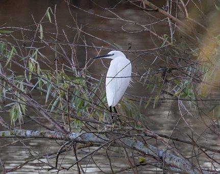 Little Egret, Wading Bird, Common Egret, Large Egret