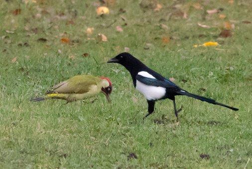 Magpie, Green Woodpecker, Feeding, Woodpecker, Wildlife