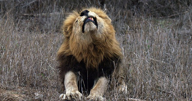 Lion, Big Cats, Mala Mala Game Reserve, Africa
