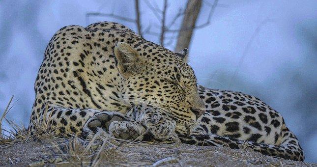 Leopard, Big Cats, Mala Mala Game Reserve, Cat