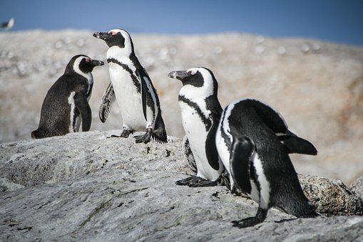 Penguins, South Africa, Cape Town, Nature, Africa