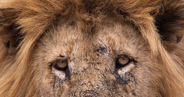 Lion, Big Cats, Africa, Predator, Animal, Safari
