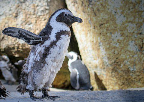 Penguins, South Africa, Cape Town, Travel, Nature