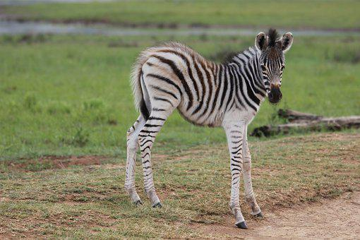 Zebra, Young, Colt, Vulnerable, Stripes, Foal, Filly