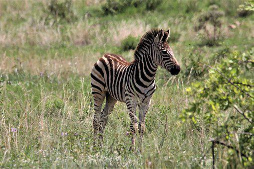Zebra, Young, Grass, Colt, Foal, Filly, Baby, Animal