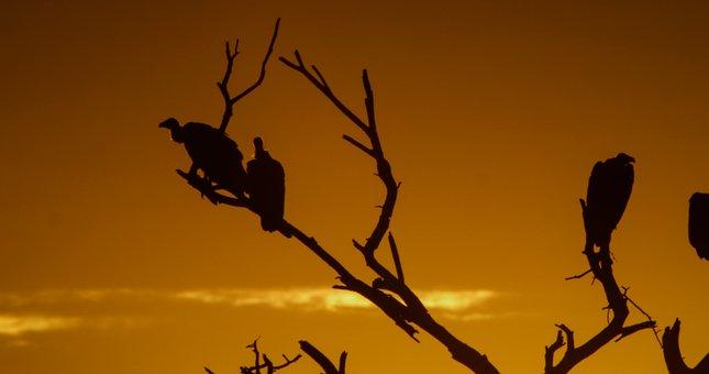 Vulture, Birds, Nature, Raptor, Animal, Scavengers