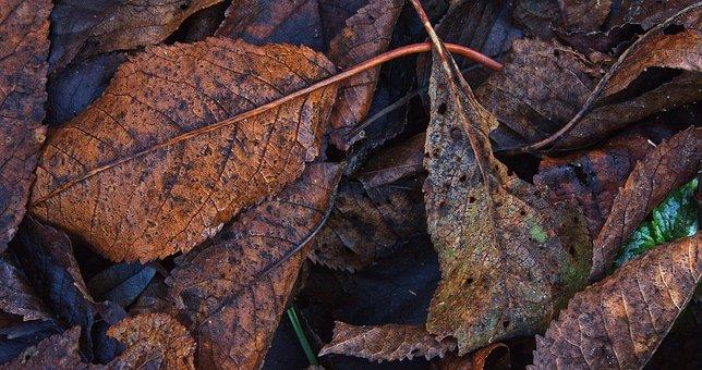 Walnut Leaf, Autumn, Wet, Leaf Coloring, Autumn Leaf
