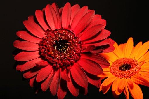 Gerbera, Blossom, Bloom, Background, Macro, Purple, Red