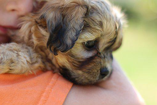 Puppy, Brown Puppy, Pet, Animal, Cute, Young, Adorable