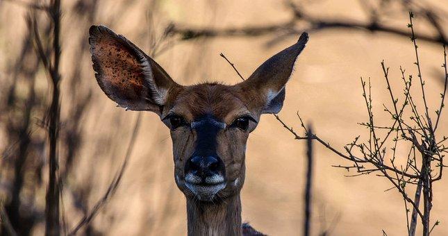 Kudu Female, Kudu, Nature, Safari, Buck, Wildlife