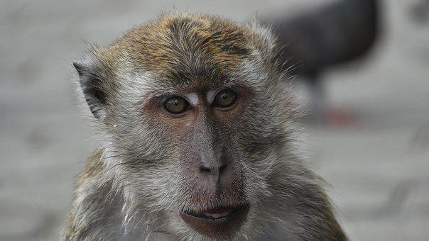 Monkey, Well, Yes, Monkey, Chimpanzee, Gorilla
