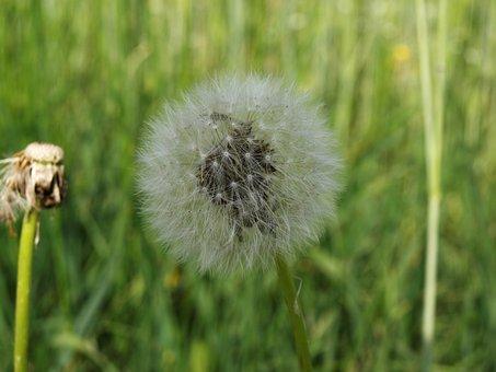 Dandelion, Nature, Seeds, Close Up, Flower, Plant
