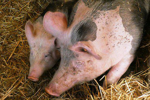 Pigs, Petting, Mammals, Farm, Agriculture, Farm Animals