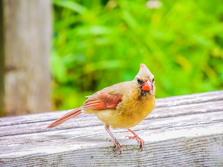 Young, Cardinal, Bird, Chicks, Love, Feathers, Feeder