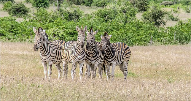 Zebra, Mammals, Mala Mala Game Reserve, Wildlife