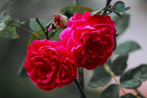 Rose, Flower, Nature, Bloom, Blossom, Pink, Red, Love