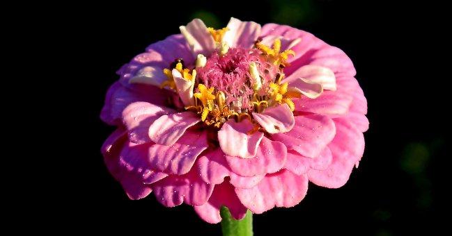 Zinnia, Flower, Pink, Garden, Nature, Summer, Closeup