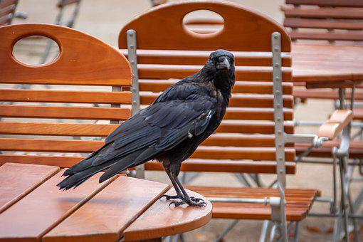Raven, Animal, Bird, Black, Chairs, Table, Wood, Metal