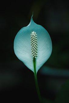 White Flower, Flower, Madonna Lily