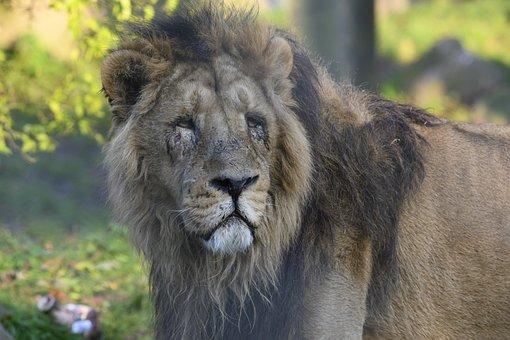 Asiatic Lion, Predator, Carnivore, Dangerous, Zoo