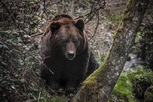 Bear, Forest, B, Nature, Animal, Wild, Wild Animals