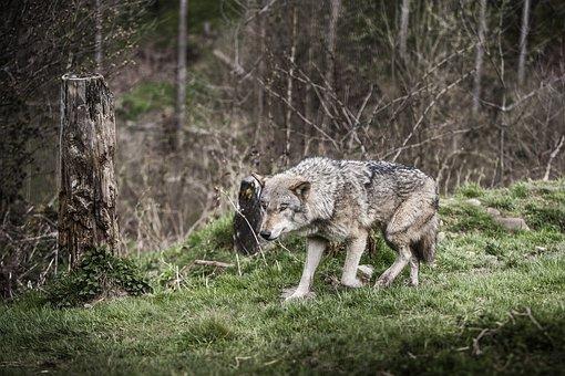 Wolf, Forest, B, Nature, Animal, Wild, Wild Animals