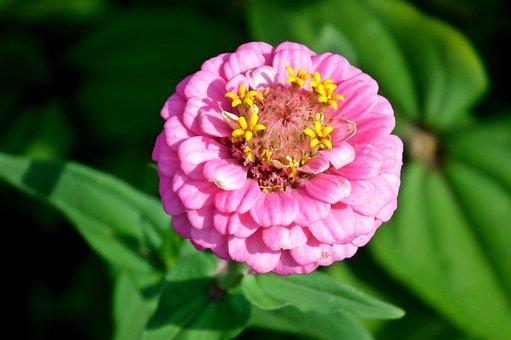 Zinnia, Flower, Pink, Nature, Summer, Macro, Beauty