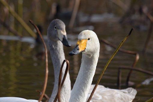 Animal, Pond, Water, Bird, Wild Birds, Fields, Swan