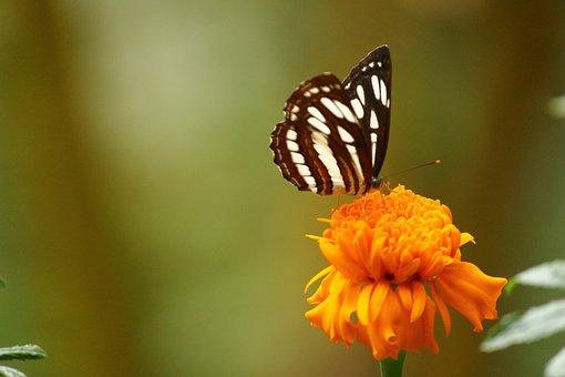 Butterfly Kerala, Butterfly On Marigold