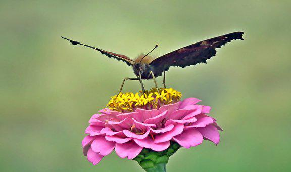 Butterfly, Insect, Zinnia Flower, Nature, Macro, Wings