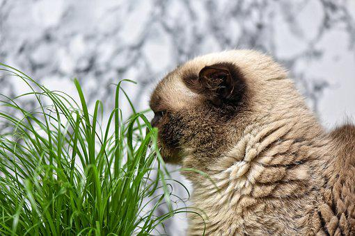 British Shorthair, Cat Grass, Eat, Cat, Mieze