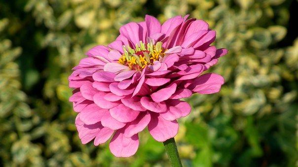 Zinnia, Flower, Nature, Garden, Plant, Summer, Closeup