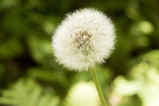 Dandelion, Macro, Nature, Flower, Plants, White