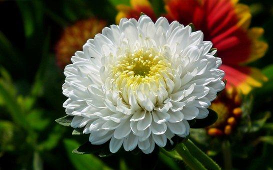 Aster, Flower, White, Macro, Plant, Garden, Summer
