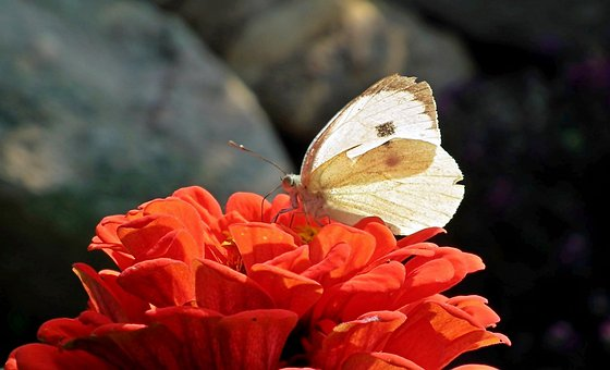 Butterfly, Insect, Flower, Zinnia, Nature, Macro
