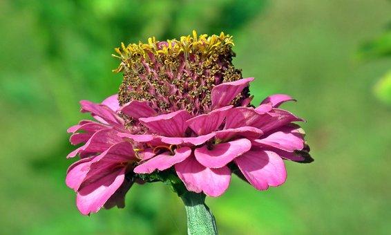 Zinnia, Flower, Garden, Colored, Nature, Summer